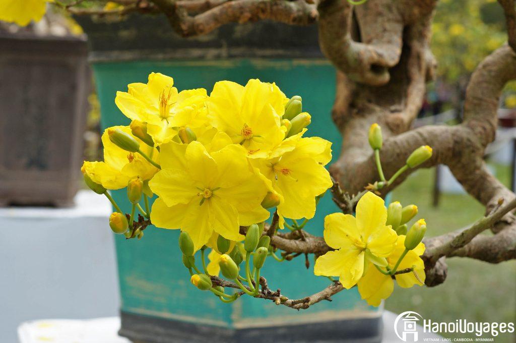 Fleur du têt Ochna - Âme du Vietnam