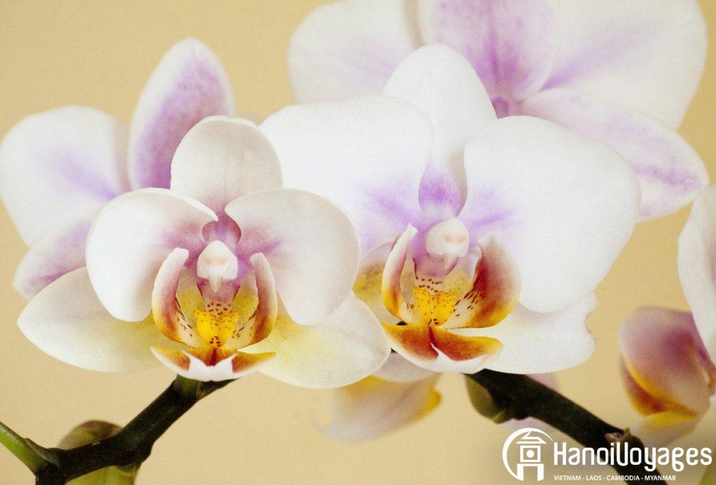 Fleurs du Têt - Orchidées blanches - Âme du Vietnam
