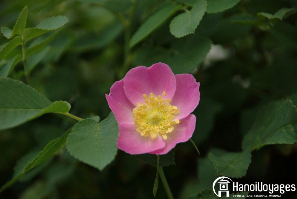 Fleur du têt églantine - Âme du Vietnam