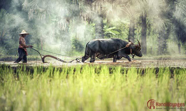 Buffle dans les rizières au nord du Vietnam