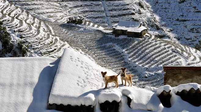 Les chiens en hiver à Sapa