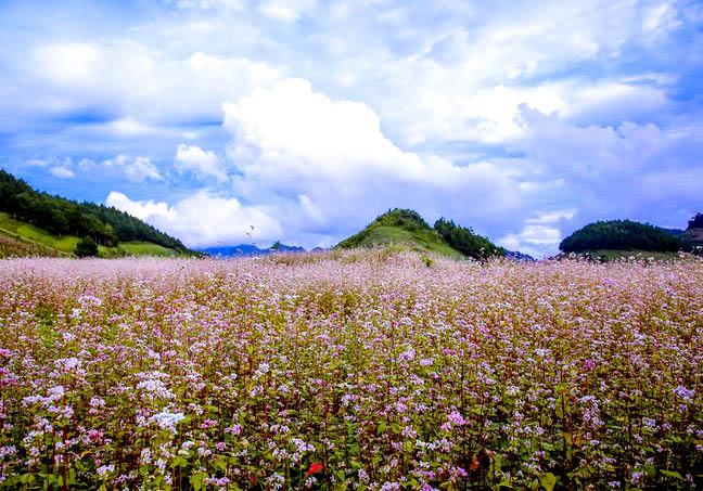 fleurs de sarrasins-hagiang-ame-vietnam
