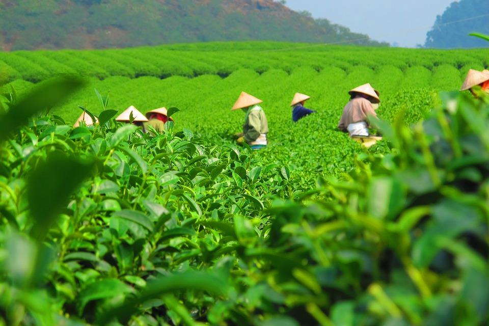 Champ de thé au Vietnam