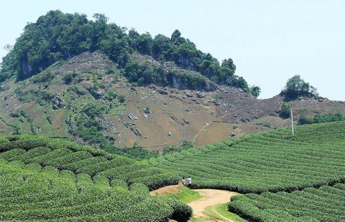 Champs de thé à Moc Chau