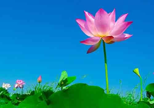 lotus-vietnam