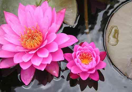 lotus - vietnam